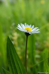 Paquerette (Ezzo33) Tags: nammour ezzat ezzo33 france aquitaine 33 bordeaux parc jardin sony rx10m3 fleur fleurs flawer flawers rouge red mauve pink rose yelow jaune wihte blanc bleu bleue réserve paquerette