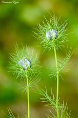 Nigelle de Damas (Ezzo33) Tags: nammour ezzat ezzo33 france aquitaine 33 bordeaux parc jardin sony rx10m3 fleur fleurs flawer flawers rouge red mauve pink rose yelow jaune wihte blanc bleu bleue réserve nigellededamas