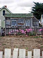 Please Stay Here With Me in Mendocino (skipmoore) Tags: mendocino nakedladies amaryllis fence shed weathered wood