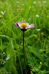 Paquerette 2 (Ezzo33) Tags: nammour ezzat ezzo33 france aquitaine 33 bordeaux parc jardin sony rx10m3 fleur fleurs flawer flawers rouge red mauve pink rose yelow jaune wihte blanc bleu bleue réserve paquerette