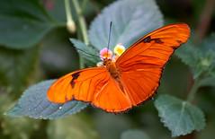 Julia Butterfly (Dryas iulia) (ggppix) Tags: dryasiulia julia butterfly bronxzoo