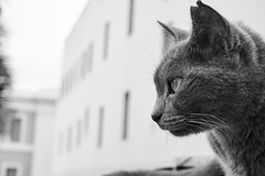 A cat contemplating the streets. Scientific name is Felis catus (jfdd_2010) Tags: sonya6000 sony ilce6000 alpha a6000 outdoor background beautiful beauty adorable animal brown clean color cute domestic eye eyes face fauna feline funny green isolated look looking sky nature portrait sight sun wild wildlife cat kitten kitty feliscatus street buildings blackandwhite black white
