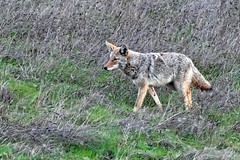 East Bay Coyote (lennycarl08) Tags: coyote wildlife animalplanet pinole northerncalifornia eastbay