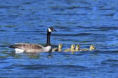 Canada Goose & Goslings (kevinwg) Tags: canadagoose canada goose goslings chicks water swim swimming