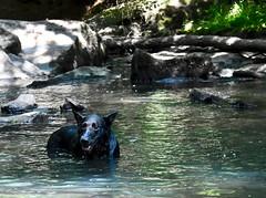 DrenchedDrago (phthaloblu) Tags: drago usa dog water nc lab rocks northcarolina passivepark mcleansville guilfordcounty reedyforkcreek boldmoonpreserve