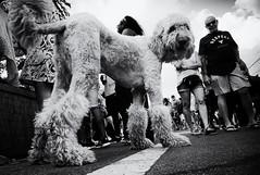 wide angle street photography (Mircea D. Tagui) Tags: street streetphotography wideangle wideanglestreetphotography monochrome blackandwhite candidstreetphotography fujifilmxstreetphotography fujifilmxt2 fujinonxf16mmf14 lakeworthflorida streetsinlakeworth dog pov
