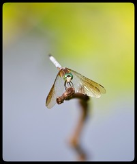 Dragonfly (vui.la9) Tags: