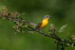 Yellow-breasted Chat (grobinette) Tags: yellowbreastedchat chat neotropical bristoestationheritagebattlefieldpark
