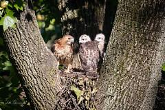 RTH (johnbacaring) Tags: rah redtailhawk wildlife nature new jersey raptor newjersey redtail hawk birdsofprey predator nest canon