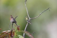 1DX15547  View Large. Two for one. Lesser Goldfinch with a Male House Finch. Backyard Corona, California (E.W. Smit Wildlife.) Tags: gitzo gitzotripod g1325mk2 gitzog1325mk2 gitzog1325mk2tripod wimberley wimberleygimbalheadwh200 wimberleygimbalhead wimberleywh200 gimbalhead ef500mmf4lisii ef500mmf4lisiiusm canonef500mmf4lisiiusm wildanimals tourist tourists telephotolens tripod unitedstatesofamerica usa outdoors outdoor supertelephotolens bird birds animal avian animals wildanimal inlandempire coronacalifornia california canon nature wildlife corona coronariversidecounty canoneos1dx 1dx canon1dx canonef500mmf4lisii canonef2xextenderiii canonef2xiii eos1dx park parks canonef500mmf4lisiiusm2xiii canonef500mmf4lisii2xiii ef500mmf4lisii2xiii ef500mmf4lisiiusm2xiii housefinch finch malehousefinch 2xiii lessergoldfinch goldfinch avocadotrees
