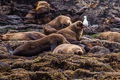 Hi (Jared Beaney) Tags: canon6d canon travel photography photographer australia australian melbourne phillipisland seal seals australianfurseal fauna ocean life sea sealrock