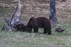 IMG_1571 grizzly sow with three coys (starc283) Tags: starc283 nature natures finest watcher wildlife flickr flicker forest outdoors outdoor mountains teton tetons grand bear grizzly sow coy cub boar