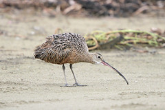Long-billed Curlew (Alan Gutsell) Tags: longbilledcurlew long billed curlew beach peninsula bolivar gulf coast alan nature migration texasbirds texas