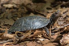 Spotted Turtle (sbuckinghamnj) Tags: turtle spottedturtle