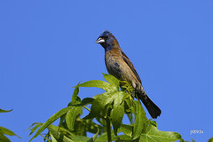 Blue Grosbeak (jt893x) Tags: 150600mm bird bluegrosbeak d500 grosbeak jt893x male nikon nikond500 nonbreeding passerinacaerulea sigma sigma150600mmf563dgoshsms songbird thesunshinegroup coth alittlebeauty coth5