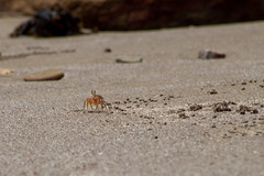 Costa Rican Sand Crab (GoodLifeErik) Tags: costarica guanacasteprovince dreamslasmareasresortandspa tropical sandcrab sand sandybeach playaeljobo telephoto