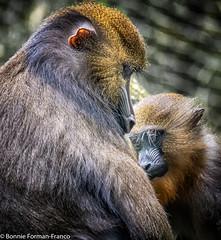 2019-05-29 MOTHER and CHILD MANDRILL- BRONX ZOO_D85_1255 (Bonnie Forman-Franco) Tags: mandril mandrill thebronxzoo bronxzoo newyorklandmark newyorkbronxzoo photoladybon monkeys gorilla congohouse nikon nikonphotography nikond850 nikon80400 nik niksoftware nikcollection cagedwildlife cagedanimals zoo zoophotography zoolife zoophotographer zoophotos nonhdr wildlife wildlifephotographer wildlifephotography mother child juvenile