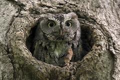 Petit-duc maculé ------- Eastern screech owl ------- Autillo yanqui (Jacques Sauvé) Tags: petitduc maculé eastern screech owl autillo yanqui parc angrignon arondissement vile lasalle montréal québec canada bird ave oiseau nikon d500 200500mm capture nxd