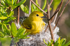 Yellow Warbler in the Nest (~Arles) Tags: bird outdoors nest yellowwarbler beak feathers wing tail leaves plant nature animal eye branches twigs