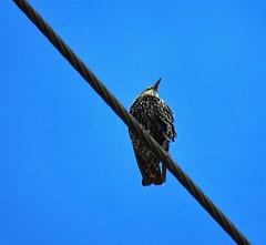 Perspectiva (carlos_ar2000) Tags: estornino starling ave pajaro bird naturaleza nature animal cable wire buenosaires argentina