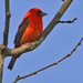 "Scarlet Tanager - The ""Black winged Red Bird"""