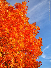 Fall Foliage in Kansas City, 29 Oct 2018 (photography.by.ROEVER) Tags: kc kcmo kansascity kansascitymo kansascitymissouri missouri 2018 october october2018 fall autumn autumn2018 fall2018 foliage fallfoliage fallcolor fallcolour fallcolors fallcolours autumncolor autumncolour autumncolors autumncolours afternoon bluesky blueskies tree leaves redleaves redfoliage libertymemorial usa