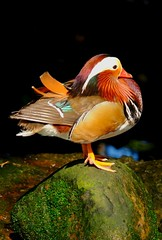 Mandarin duck (Uhlenhorst) Tags: 2007 australia australien animals tiere birds vögel travel reisen