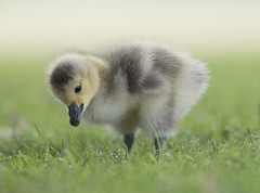 Attentive youngster (woodwindfarm) Tags: canada gosling sundaylights