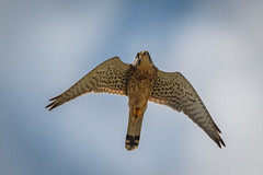 Kestrel (JS_71) Tags: nature wildlife nikon photography outdoor 500mm bird new spring see natur pose moment outside animal flickr colour poland sunshine beak feather nikkor d500 wildbirds planet global national wing eye watcher