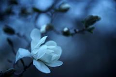 L'heure bleue 1 (Patrice StG) Tags: sony a7ii bokeh dusk crépuscule fleur flower rikenon55mmf14m42 vintagelens vintage magnolia gimp québec spring printemps boisdecoulonge