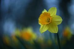 L'heure bleue 2 (Patrice StG) Tags: sony a7ii bokeh dusk crépuscule fleur flower rikenon55mmf14m42 vintagelens vintage narcisse daffodil gimp spring printemps québec boisdecoulonge