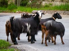 You lookin' for trouble, or what? (fotogake) Tags: kalamaki thessalien griechenland goats ellada pilion pelion πήλιο