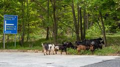 Speed limit 5 mph enforced by goats (fotogake) Tags: kalamaki thessalien griechenland goats ellada pelion πήλιο