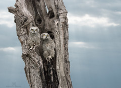 great horned owlets (marianna armata) Tags: owl great horned bird raptor ontario canada mariannaarmata