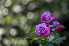 Roses in the morning light (Tom Hanawa) Tags: ã°ãªã¼ã³ rose bokeh dew