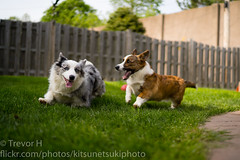 Running (Kenjis9965) Tags: sel3514z distagon3514za distagontfe1435 sonya7iii sony 35mm f14 za distagon zeiss carl corgi cardigan welsh blue merle red brindle running playing puppy dog doge pupper a7 iii