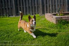 Sun Strut (Kenjis9965) Tags: sel3514z distagon3514za distagontfe1435 sonya7iii sony 35mm f14 za distagon zeiss carl corgi cardigan welsh blue merle red brindle running playing puppy dog doge pupper a7 iii