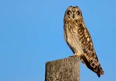 Short Eared Owl (edhendricks27) Tags: owl bird nature wildlife animal canon