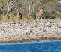 Female Greater Kudu (pero1961) Tags: sigma nikon d500 etosha namutoni kudu waterhole wasserstelle 150600
