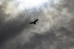 Before the Dive (jessicalowell20) Tags: clouds fishladder maine migration monochrome moodysky newengland northamerica osprey silhouette spring