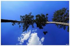Bäume ... Bis zu den Wolken (tingel79) Tags: 12mm weitwinkel natur nature bäume tree sony himmel sky wolken cloud photographie photography outdoor germany wald zeiss