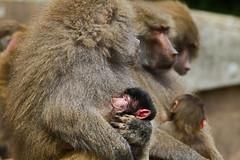 Hamadryas baboon (Papio hamadryas) - Paignton Zoo, Devon - May 2019 (Dis da fi we) Tags: hamadryas baboon papio late pleistocene paignton zoo devon inhabit arabia africa
