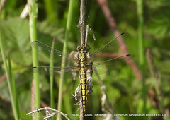 Black-tailed Skimmer (Explored) (pete Thanks for 5 Million Views) Tags: depthoffield hillyfields hwcp nikonp1000 summer wickedweasel blacktailed skimmer explore