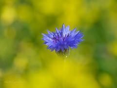 Above the clouds (Karsten Gieselmann) Tags: 300mmf4 blau blumen blüten bokeh em1markii farbe feldweidewiese gelb kornblume mzuiko microfourthirds natur nutzpflanzen olympus pflanzen raps blossom blue color cornflower flower kgiesel lawn m43 meadow mft nature plants rapeseed yellow teublitz bayern deutschland