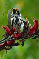 New Holland Honeyeater ! (Uhlenhorst) Tags: 2013 australia australien animals tiere birds vögel plants pflanzen blossoms blüten travel reisen ngc npc