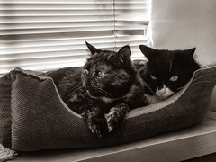 Because Two's Company (Katrina Wright) Tags: img1781edit4 ella mel cats felines eyes whiskers blinds window catsinwindow sepia monochrome cuddle snug snuggle fur catbed hww iphone iphone6