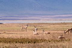 Impalas  Ngorongoro, Tanzania (Amdelsur) Tags: tanzanie impala continentsetpays caldeiradungorongoro afrique aepycerosmelampus africa ngorongorocaldera paa swala tz tza tanzania régiondarusha