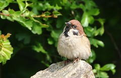 Tree Sparrow -Passer montanus-Fairburn Ings RSPB Castleford West Yorks - 300419 (14) (Ann Collier Wildlife & General Photographer) Tags: treesparrow passermontanus fairburningsrspb castleford westyorkshire royalsocietyfortheprotectionofbirds birds naturalhistory rspbreserves rspb
