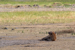 Spotted hyena, Ngorongoro, Tanzania (Amdelsur) Tags: hyènetachetée tanzanie continentsetpays caldeiradungorongoro afrique africa crocutacrocuta hienamanchada hienamoteada ngorongorocaldera spottedhyena tz tza tanzania régiondarusha