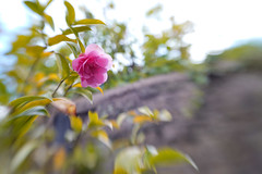 Over the Garden Wall (judy dean) Tags: flowers lensbaby garden may 2019 sweet50 judydean rose wall